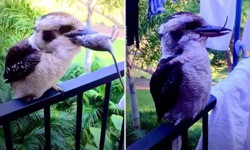 The moment a kookaburra gulps down a dead rat while perched on balcony
