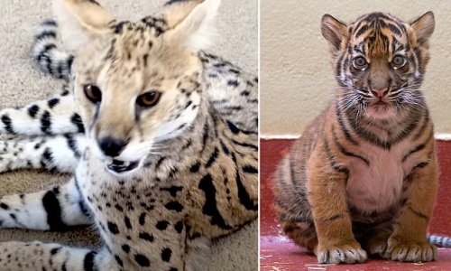 French couple pay thousands for Savannah cat but get a TIGER instead