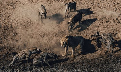 Incredible images show a lion taking on a pack of 30 hyenas