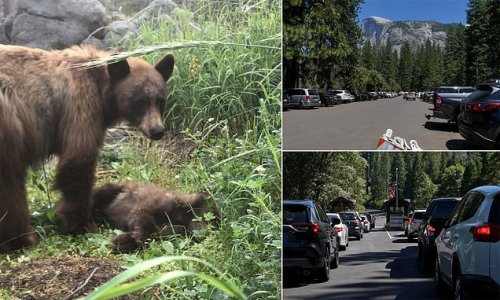Heartbreaking photo of mama bear standing over dead cub at Yosemite