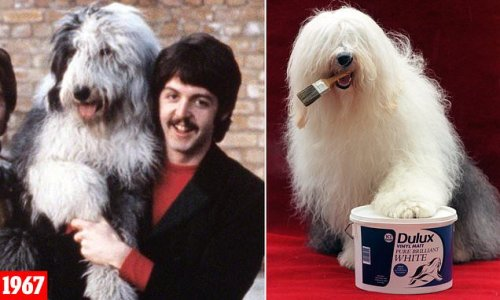 Old English sheepdog breed 'in danger of dying out in Britain'