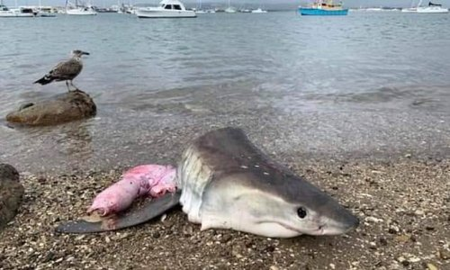 Protected species of shark killed for meat as head found on shore