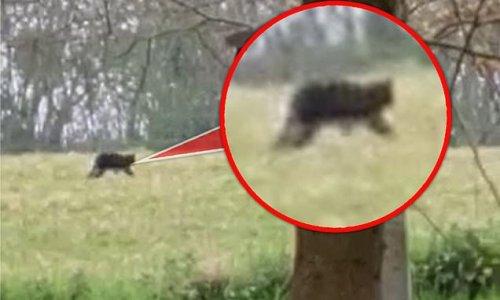 'Big cat the size of an Alsatian' is filmed stalking in Somerset