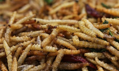 Maggots must be mass-farmed to combat malnutrition, study says