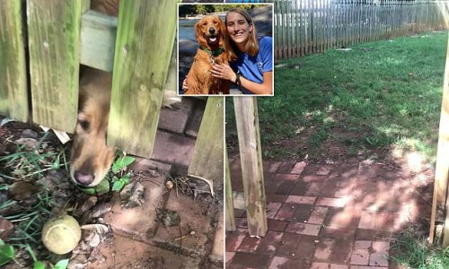 Dog pokes its nose under fence and stares at ball