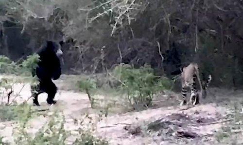 Bear squares up to leopard in Sri Lanka park