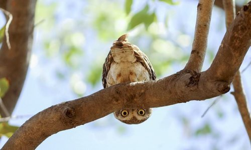 Peek-A-Hoo: Curious owlet caught in a spin