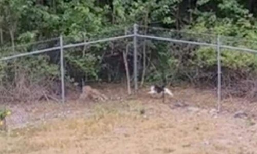 Brave cat quickly chases away coyote in shocking video