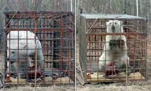 Polar bear that wandered 675 MILES from its Russian habitat captured