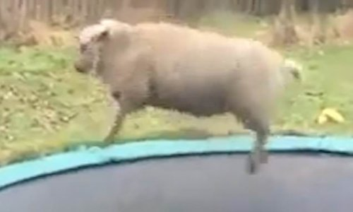 Hilarious moment Bammie the sheep bounces around on garden trampoline