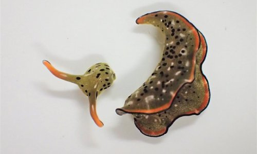 Self-decapitating SEA SLUGS sever their own heads and grow a new body