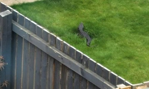 Woman spots a 4ft long 'crocodile' on the loose in Yorkshire garden