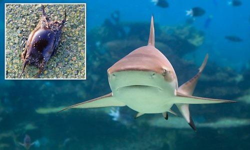 Infant sharks vulnerable to predators due to rising sea temperatures