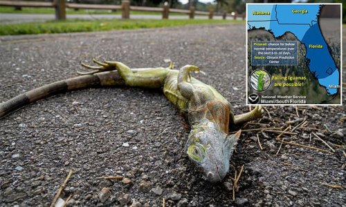 Florida iguanas may fall out of trees due to cold temperatures