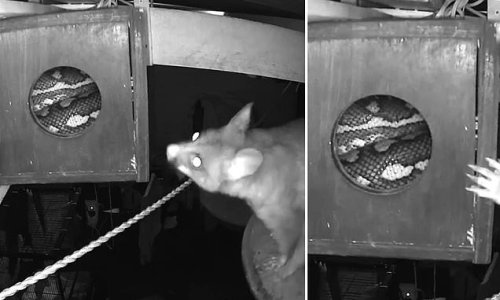 Brave possum finds a VERY unwanted visitor inside his home