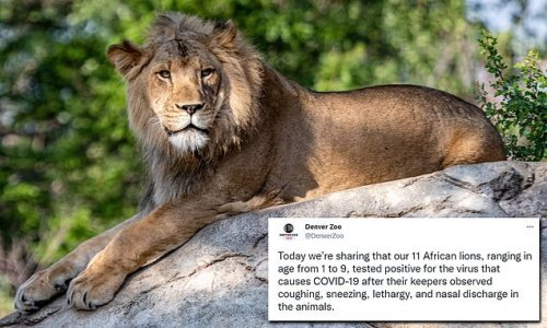 15 lions at Utah, Denver zoos test positive for COVID's delta variant