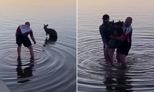 Tired kangaroo pulled out of water to safety by heartwarming rescuers