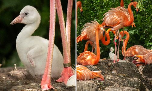 I'm flamingo-ing to turn pink eventually! Four eggs hatch at UK zoo