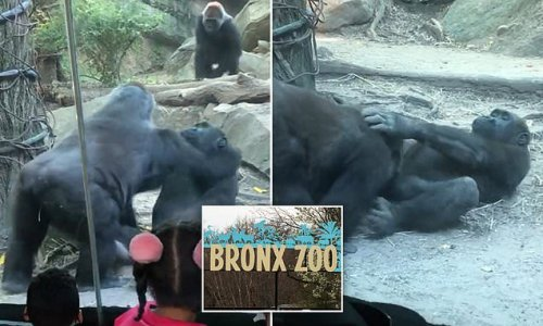 Male gorilla shocks at Bronx Zoo by performing oral sex on friend
