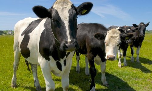 Case of mad cow disease is identified on a Somerset farm