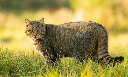 Wildcats to be reintroduced to Englandfor the first time in 200 years