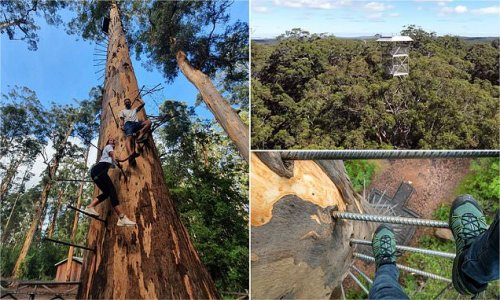 Aussies flock to the 'tallest climbable tree on Earth'