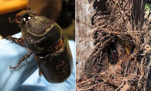 Destructive pest wreaking havoc close to invading Australia