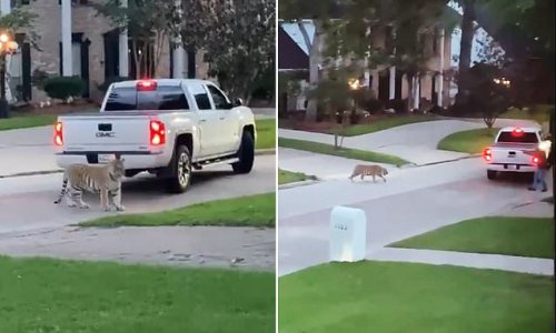 Moment a pet TIGER is seen roaming around a Houston neighborhood