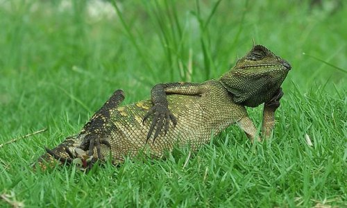 And... relax! This laid-back lizard cuts a chilled figure in Indonesia