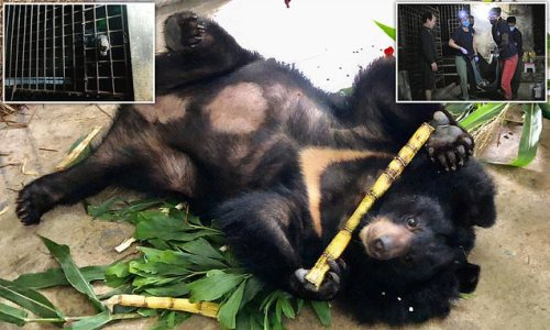 Two bears kept in basement cages for 17 YEARS given home in Vietnam