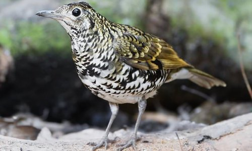 Rare thrush seen in UK once a year dies after crashing into window
