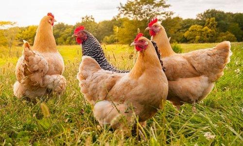 'Chicken King' Ranjit Singh Boparan slashes debts at food empire