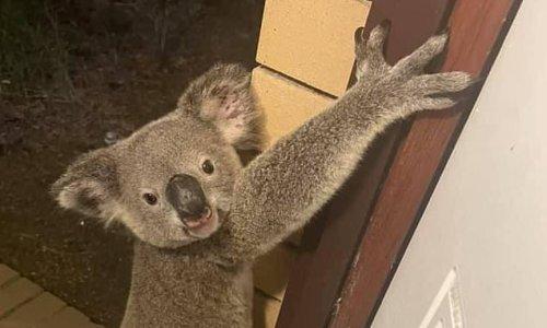 Queensland man finds adorable koala climbing up his front door