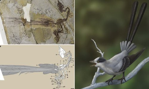 Ancient bird had fancy tail feathers like a peacock, fossils show