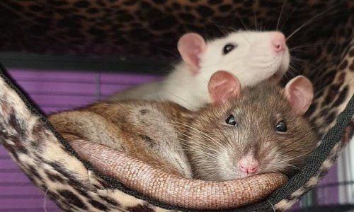 Male rats form friendships with preferred partners