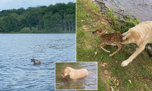 Goldendoodle named Harley rescues baby fawn from drowning in lake