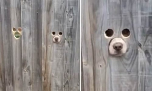 Pet owner creates dog size holes in fence so pets can see passers-by