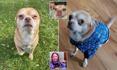 'Demonic' Chihuahua finds a new home after post from foster owner