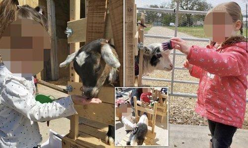 Children's farm is slammed for locking pygmy goats in 'stocks'