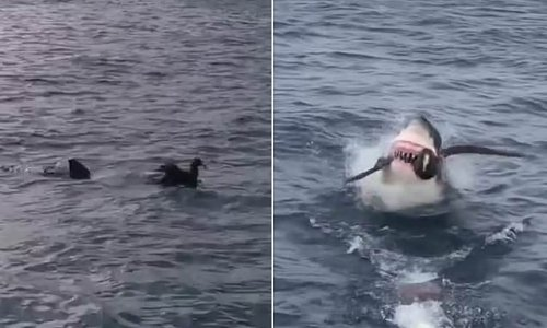 Great white shark swallows bird whole