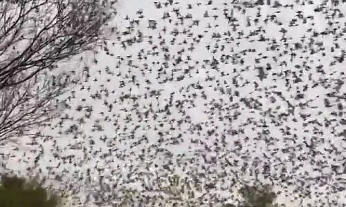 Outback sees thousands of budgies flock in biggest event in 10 years