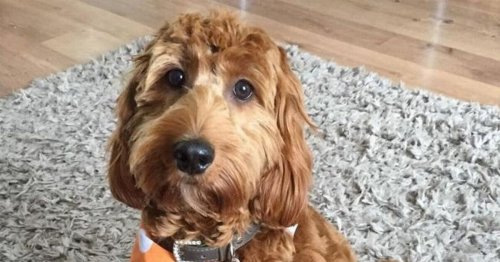 Owners face £20,000 vet bill after dog savages their cockapoo