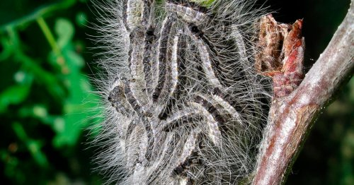 Scots to watch out for poisonous caterpillars which cause sickness and rashes