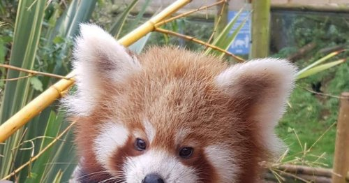 Scots Zoo shows off images of incredibly cute new resident red panda Rufio
