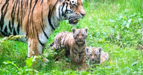 Adorable photos show rare Amur tiger cubs up close as they explore home