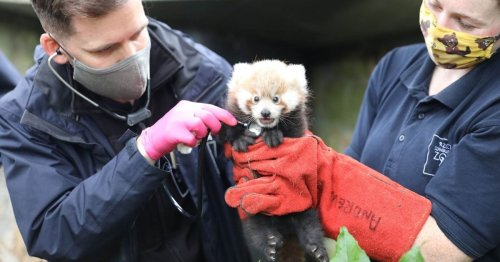 Super cute red panda born at Edinburgh Zoo is named by adoring workers