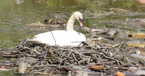 Swan nests comfortable in pile of rubbish on Lanarkshire river