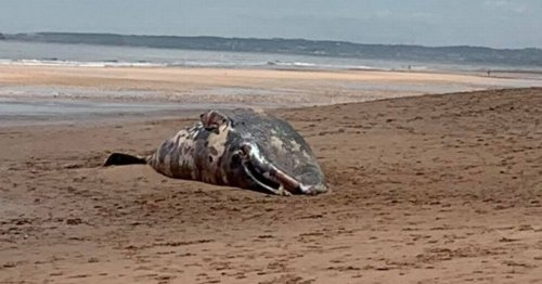 Huge whale washes up on beach near Trump's luxury resort