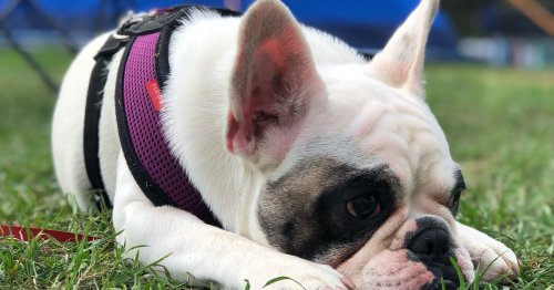 Dog owners using harness instead of collar on walks could land hefty £5000 fine