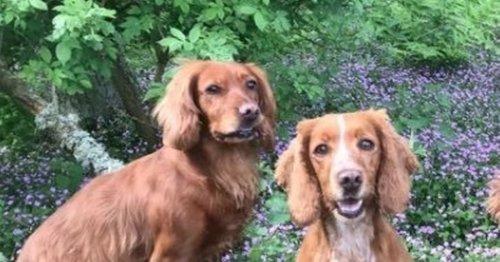 Scottish spaniel found 455 miles away in Surrey park